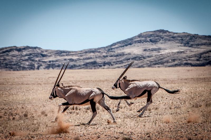 Gemsboks (Oryx gazella) in the Namib Desert, Namibia
