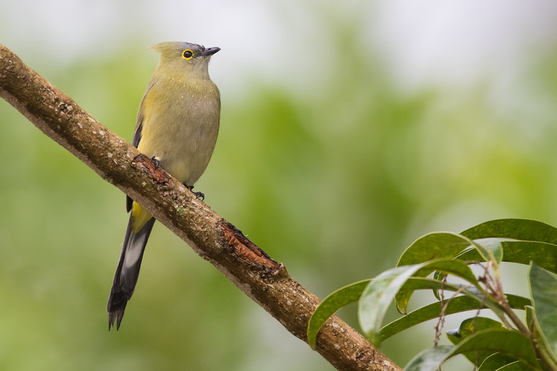 Long-tailed Silky-Flycatcher - Female - Los Quetzales Lodge, Guadalupe, Panama
