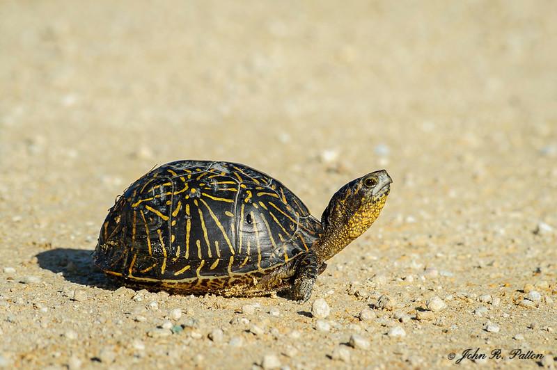 Florida Box Turtle. Terrapene bauri. Big Cypress National Preserve. Western Everglades. Florida. JPat_170302__D3S2526
