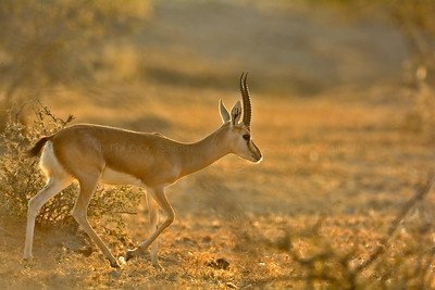 Indian gazelle in the Thar desert