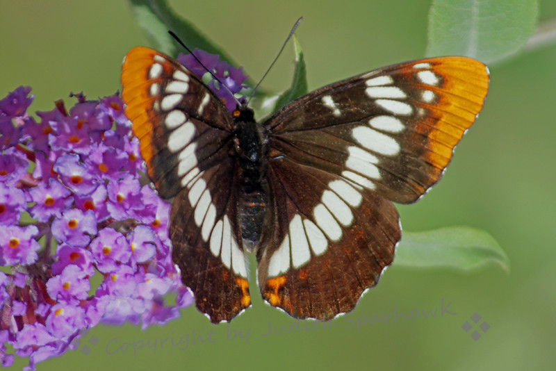 Lorquin's Admiral Butterfly ~ This Lorqun's Admiral was photographed in the Bird & Butterfly Garden in the Tijuana River Valley, out of Chula Vista, California.