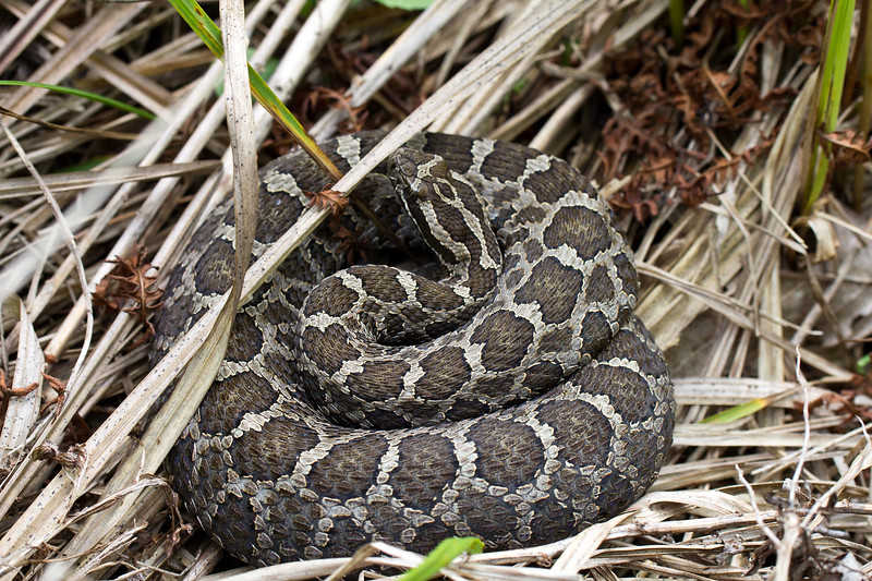 Eastern Massasauga (Sistrurus catenatus)