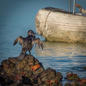 Flightless Galapagos Cormorant