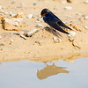 Swallow on mud