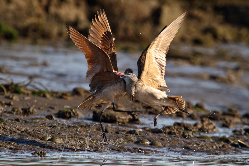 Dowitchers dancing, Elkhorn Slough, Moss Landing, California
