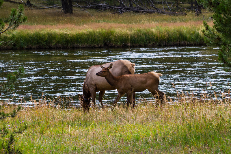 Elk by the Madison River
