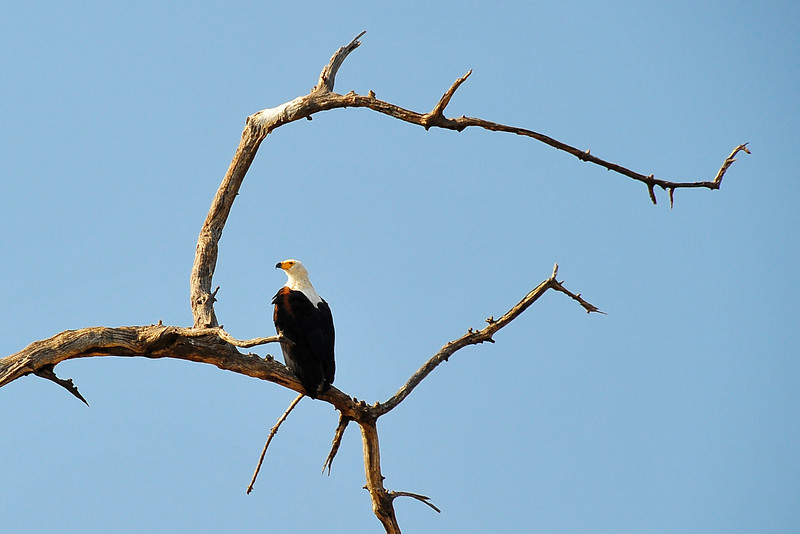 _D037948 African Fish-Eagle
