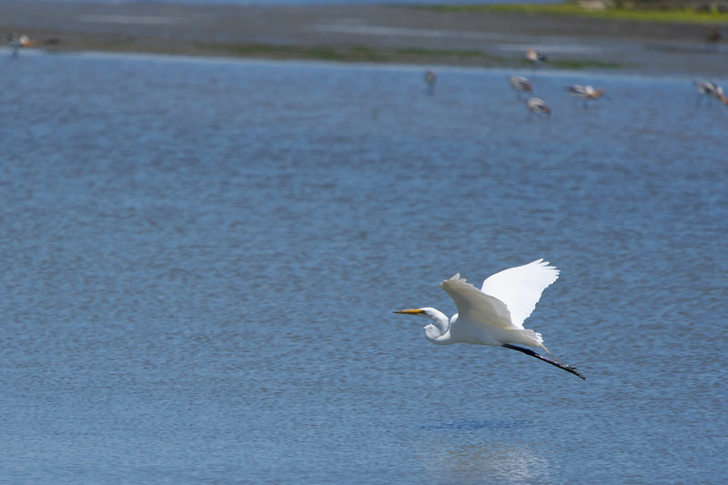 Great Egret at Don Edwards Refuge in SF Bay