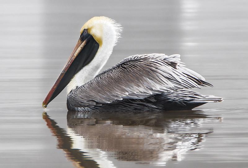 Pelican afloat topaz 021118 (1 of 1).jpg