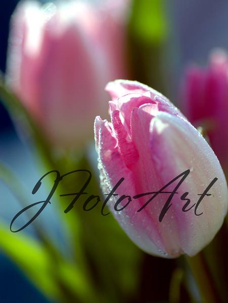 tulip 1 1203.jpg