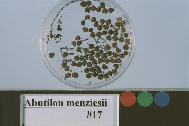 Abutilon menziesii USDA.jpg