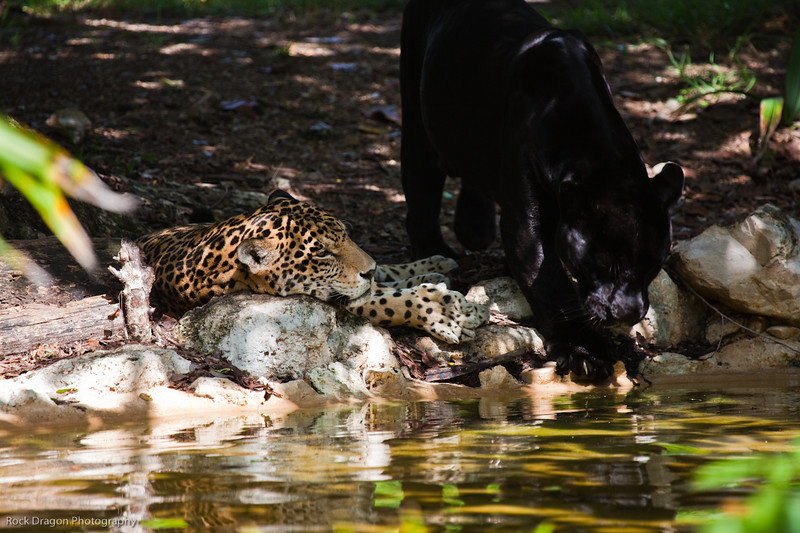 Jaguars at the Xcaret Ecological park.