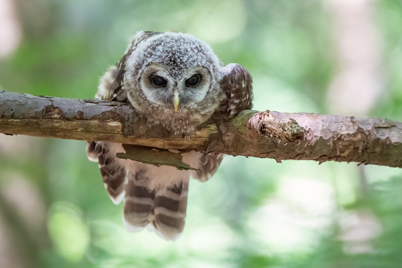 #1253 Barred Owlet