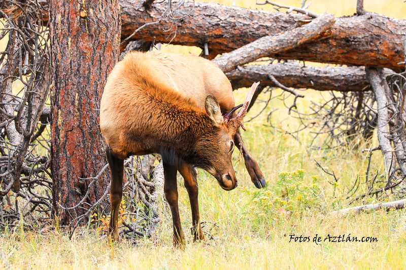 Elk IMG_0434.jpg