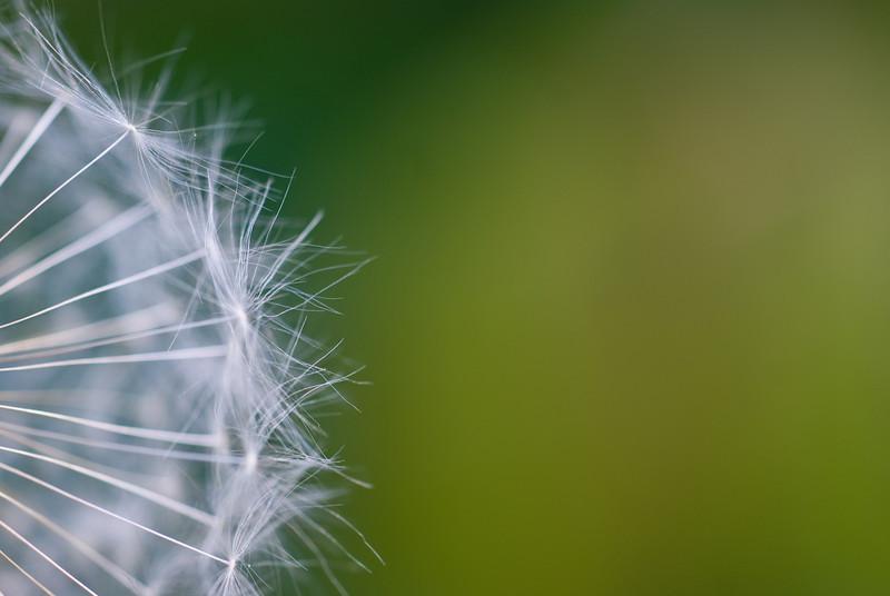 another dandelion.jpg