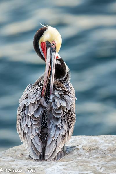 La Jolla Pelican.jpg