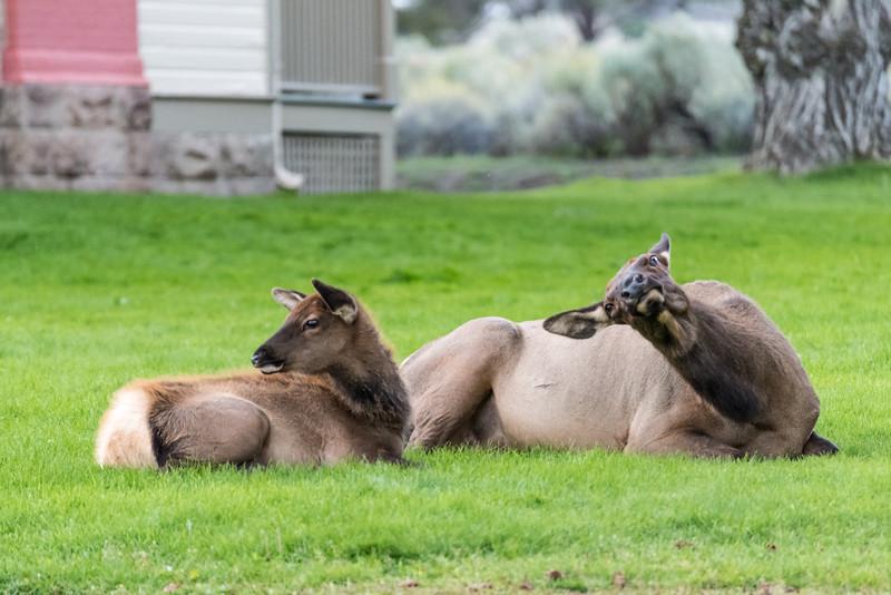 Elk-Mammoth-in-town-12.JPG