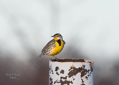 Weld County Birds January 2016