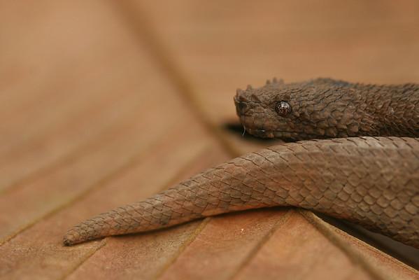 Tropidophiidae
