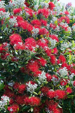 Pohutukawa - Ein königlicher Baum