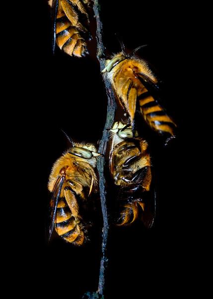 Bees-roosting.jpg