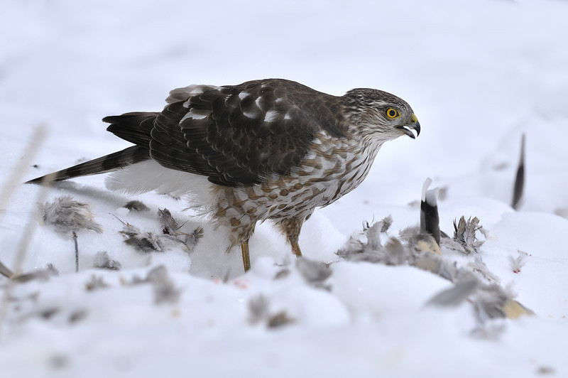 Varennes, Qc, Canada: Epervier brun  juvénile / juvenile Sharp-shinned Hawk.( Accipiter striatus )