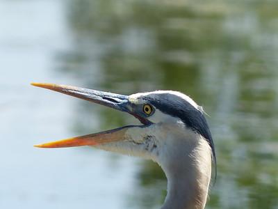 20140609 Great Blue Heron