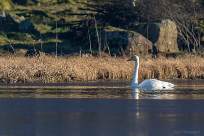 Sangsvane (Whooper Swan)