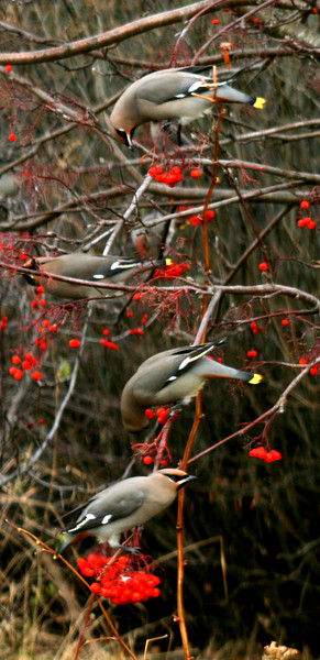 Bohemian waxwings and other stuff