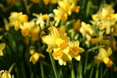 Daffodill Festival