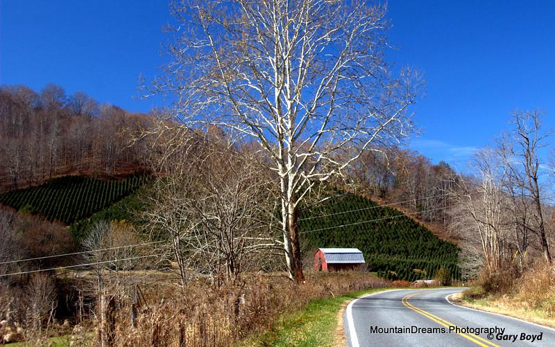 Christmas Trees On The Mountain, Ashe County, NC