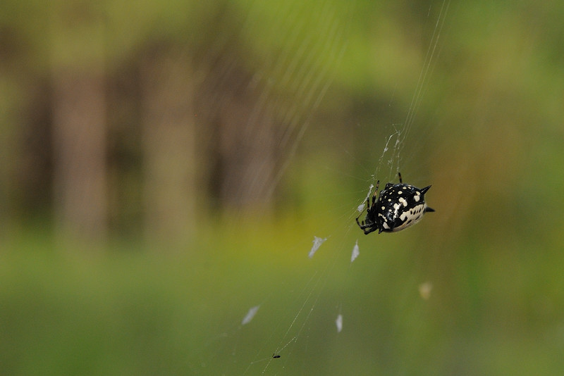 I think this spiny orb weaver looks more like an orca.