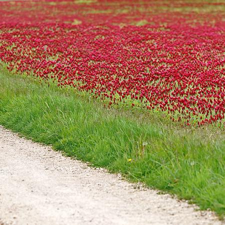 Champs de trefles rouges