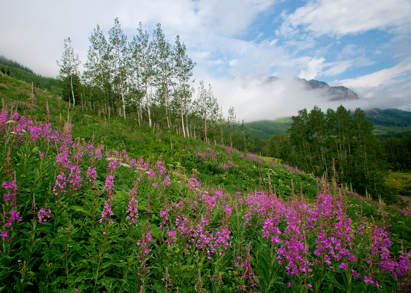 Fireweed, Green Gentian and fog grace the slopes of Gothic Mountain near Crested Butte, Colorado.