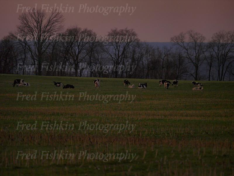 cows dusk.jpg
