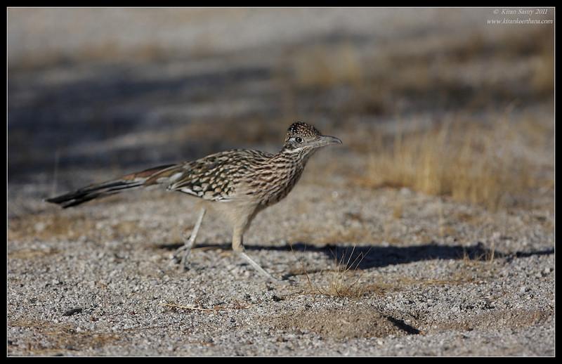 Greater Roadrunner, near Anza Borrego Desert State Park visitor center, San Diego County, California, October 2011
