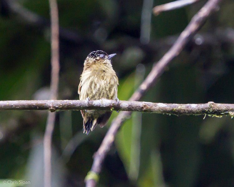 Olivaceous Piculet at Sachatamia Lodge, Ecuador (03-03-2014)-25.jpg