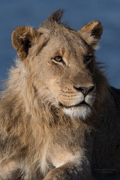 African Lion, Sabi Sands (EP), SA, Oct 2016-3.jpg