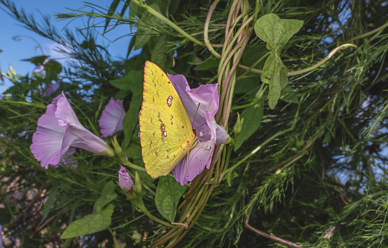 Cloudless sulphur butterfly on a morning glory flower