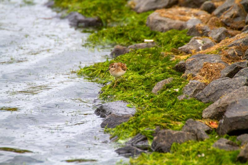 Least Sandpiper Beaver Bay Sewage Ponds Lake County MN IMG_1681.jpg