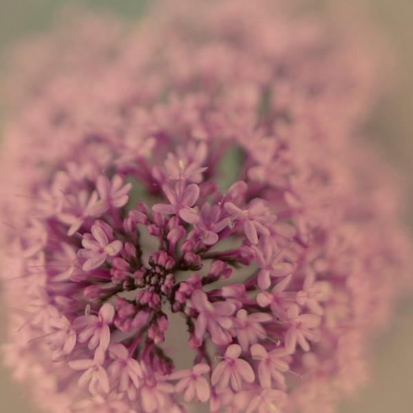 Pink Pretty.tif