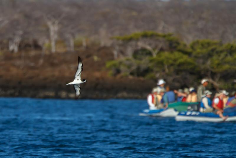 Galapagos Petrel at Elizabeth Bay, Isabela, Galapagos, Ecuador (11-23-2011) - 877.jpg