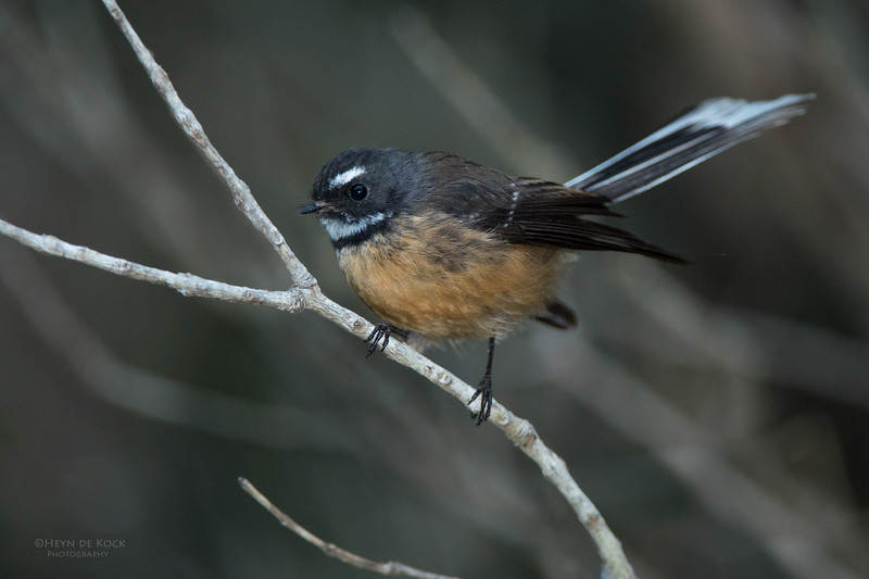 New Zealand Fantail, Tiritiri Matangi, NZ, March 2015-2.jpg