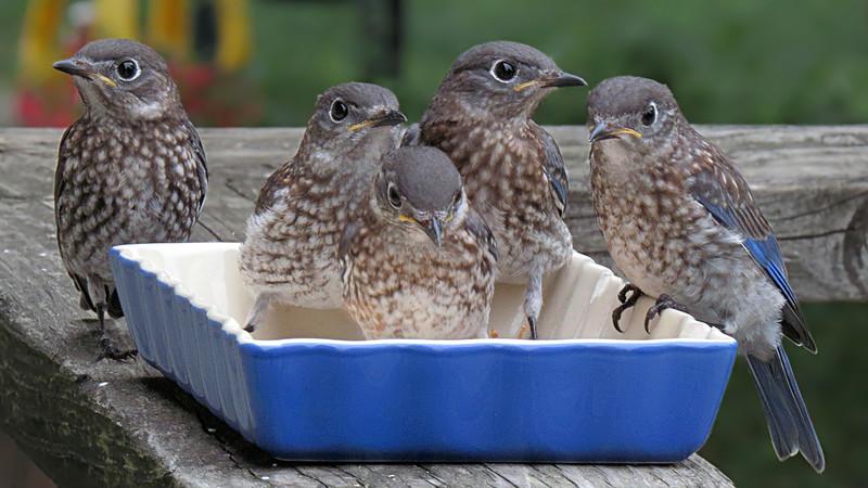 sx50_bluebird_fledgling_174.jpg