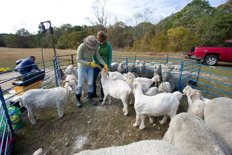 After shearing, each goat got a dose of de-worming agent, and a coating of Diatomaceous Earth for de-lousing.