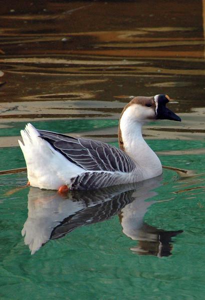 Duck-1-Captured-2005-2-12-0.jpg