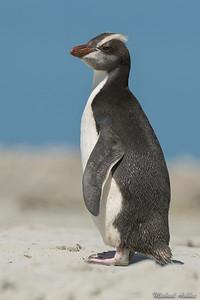 Erect-crested Penguin