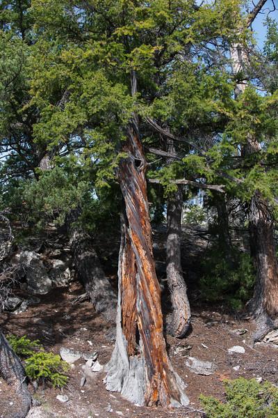 Unique Yellowstone Tree
