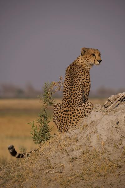 Cheetas resting, Selinda Explorer camp, Botswana