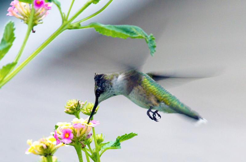 hummingbirdinlantana.jpg
